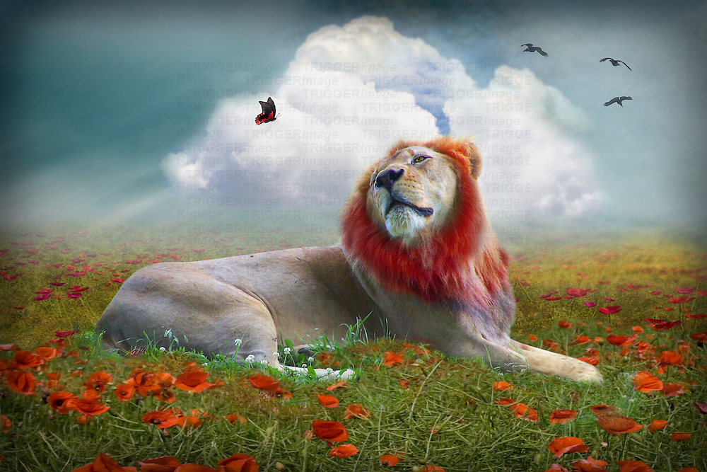 lion in a poppy field with butterfly