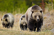 A Grizzly Bear (ursus horibilis) and her two cubs  in Yellowstone National Park.  Colin E Braley (Wild West-Media)