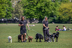 © Licensed to London News Pictures. 24/04/2020. London, UK. Dog walkers go out in the warm weather on Clapham Common during lockdown, were temperatures are expected to reach 22c over the weekend. London has seen an increase in traffic and busier High Streets as more shops and takeaway restaurants start to open up during the coronavirus pandemic crisis. Photo credit: Alex Lentati/LNP