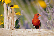 01530-14902 Northern Cardinal (Cardinalis cardinalis) male on fence near Russian Sage (Perovskia atriplicifolia) & Black-eyed Susans IL