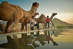 Camel traders  collect water for their livestock at the world's largest annual cattle fair in the desert town of Pushkar, in the Indian state of Rajasthan. Every year thousands of camel herders from the semi-nomadic Rabari tribe, who make a living rearing animals, travel for two to three weeks across 500 kilometers to set up camp in the desert dunes near Pushkar to sell their livestock. The herders sell more than 20,000 camels, horses and other animals at the annual cattle fair.