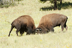 Bison bulls locking horns and battling for dominance during rut, Vermejo Park Ranch, New Mexico, USA.
