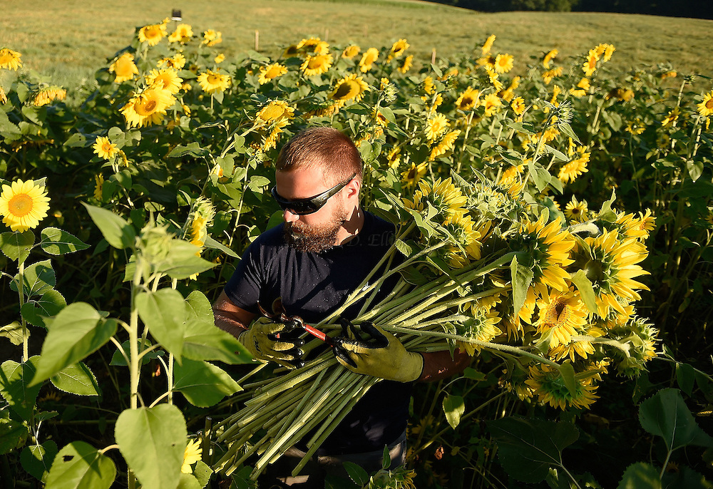 7/28/16 :: REGION :: STAND ALONE :: Volunteer Davidson Stevens harvests sunflowers at Buttonwood Farm in Griswold Thursday, July 28, 2016 for the farm's 13th annuals Sunflowers for Wishes fundraiser. A bouquet of sunflowers can be had for a $10 donation to the Make-A-Wish Foundation during the event which runs through this weekend. The event has raised over $1 million since it began.  (Sean D. Elliot/The Day)