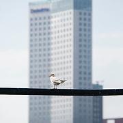 Nederland Rotterdam 9 juli 2010 20100709 Stadsgezicht Kop van Zuid. Op de voorgrond zitten meeuwen op een lijn. Op de achtergrond  hoogbouw nieuwbouw: Het hoogste kantoorgebouw van Nederland De Maastoren. , vernieuwing stedelijk:.stadsvernieuwing, vogel, vogels, vrij, water, wolkenkrabber, wolkenkrabbers, zonnig weer , the sky is the limit, toren, torens, tower, uitbreidingsgebieden, urban landscape, urbanisatie, urbanisering, urbanisme, urbanistisch, urbanistische, vastgoed, vernieuwing Foto: David Rozing
