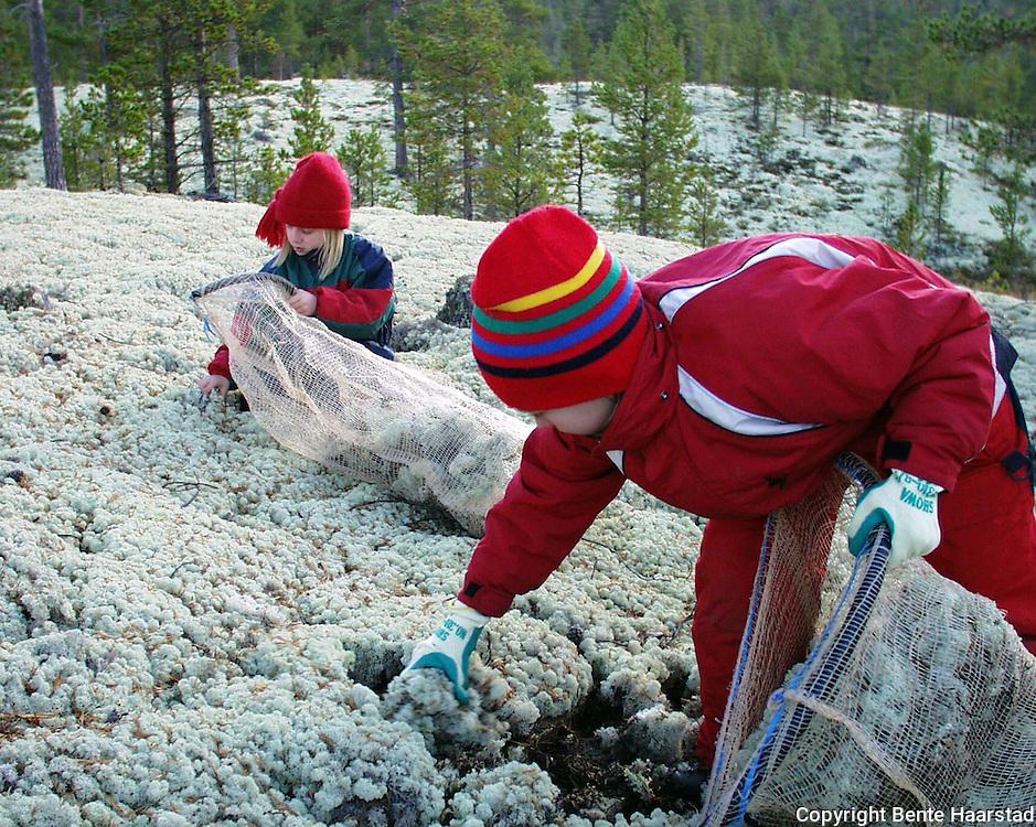 Reindriften i Nord-Trøndelag må plukke store mengder reinlav i Folldal, Østerdalen for nedforing av rein.