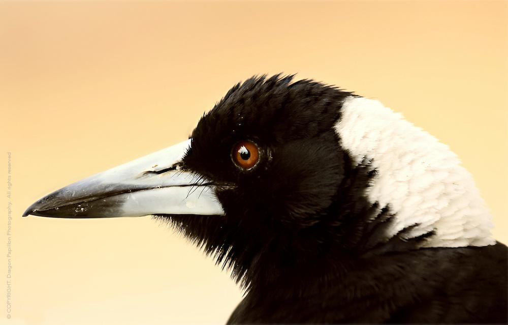 nature closeup: birds: Australian magpie