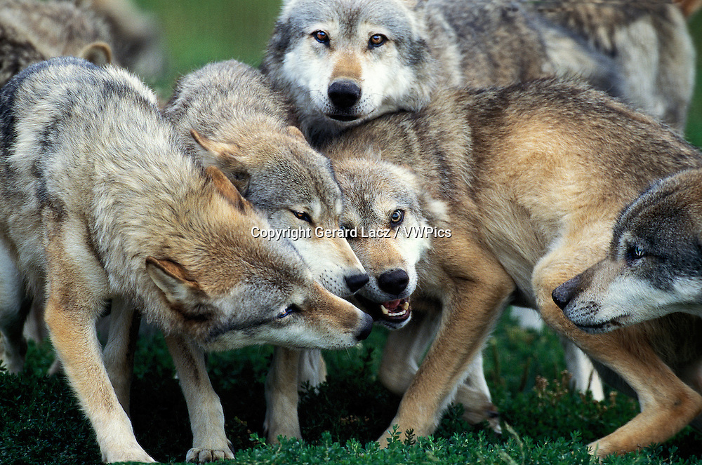 European Wolf, canis lupus, Pack of Adults