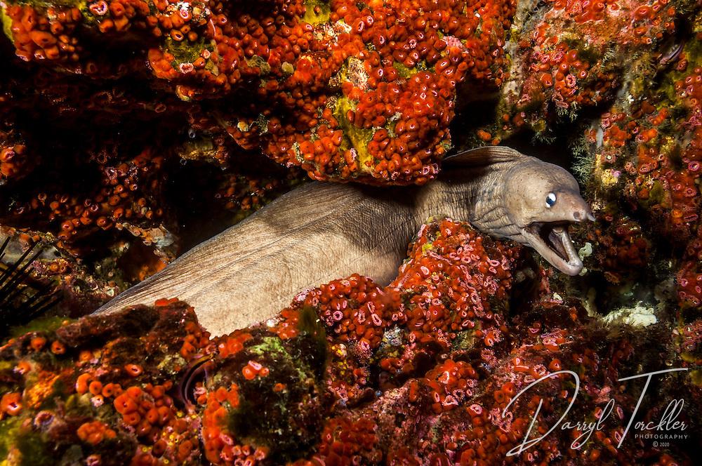 Grey Moray eel at Groper Island. Mokohinau Islands. Hauraki Gulf. New Zealand.