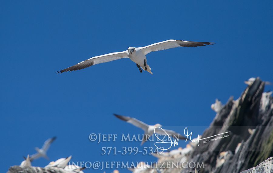 Northern gannets take flight from the rocky island of Little Skellig, Ireland.