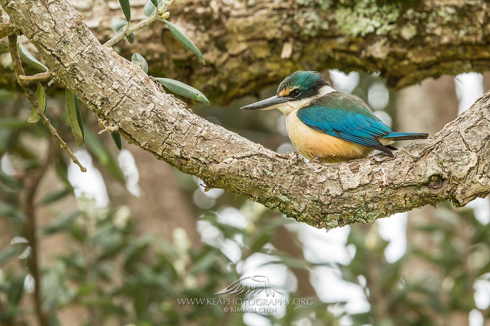Sacred Kingfisher, Waiheke Island, New Zealand