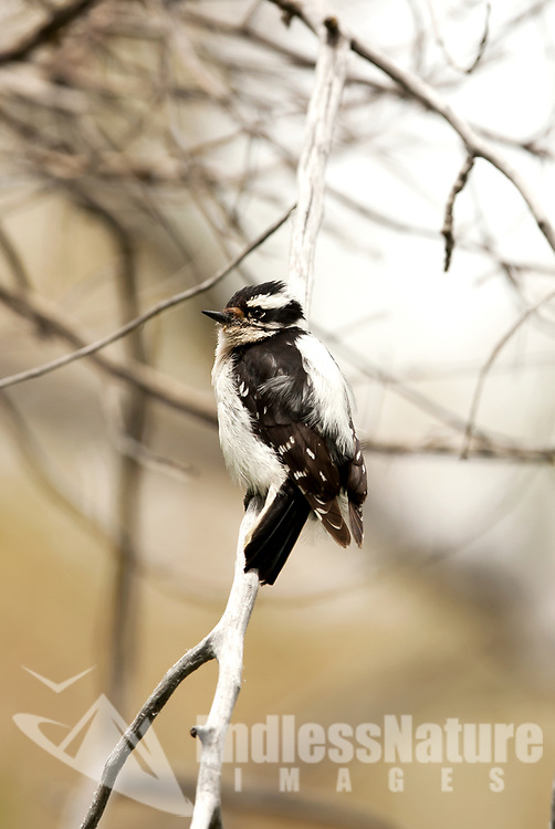 A female Downy Woodpecker perches on a branch just outside of its nesting cavity resting before attending to its young.