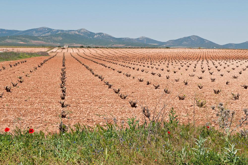 Weinfeld  der terra rossa der roten Erde La Manchas  in Spanien  |  wine field