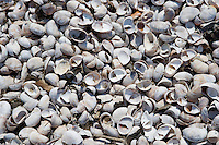 Seashells at the mouth of the Connecticut River, Griswold Point, Old Lyme, CT