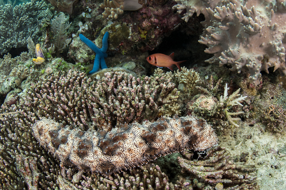 Blackspotted Sea Cucumber (Bohadschia graeffei)<br /> Raja Ampat<br /> West Papua<br /> Indonesia