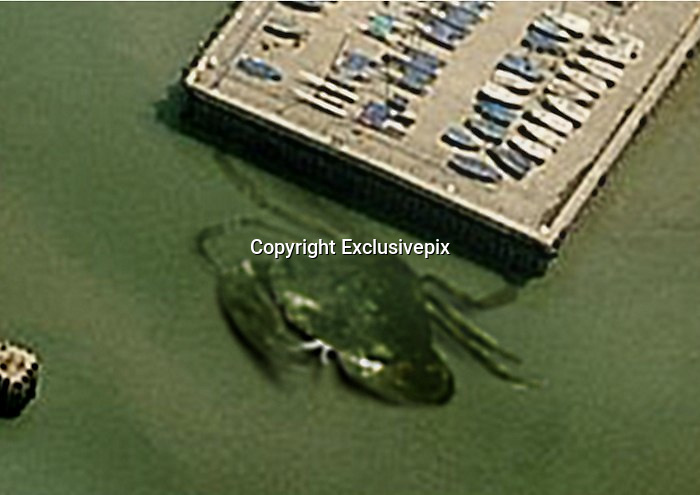 "Crabzilla! Photo appears to show giant CRAB measuring at least 50ft across lurking in the waters off Whitstable <br /> <br /> The seaside town might be famed for its oysters, but this incredible image could soon have visitors flocking to Whistable in the hope of catching Britain's biggest crab.<br /> <br /> The photograph, which has been shared online, appears to show a crustacean that is at least 50ft-wide lurking in shallow water.<br /> <br /> While some insist it is proof of 'Crabzilla', others argue that the shadowy figure is nothing more than an unusually-shaped sandbank - or is simply a playful hoax.<br /> <br /> The image shows the outline of a crab in the mouth of the Kent harbour - dwarfing the fishing boats resting on the nearby pier. <br /> <br /> It is shaped like an edible crab, a species that is commonly found in British water and grows to an average of five inches.<br /> <br /> The photograph was posted on a website called Weird Whitstable - an online collection of strange and unusual sightings in the town.<br /> <br /> Its curator, Quinton Winter, said that at first he thought the image - sent to him by a follower - showed an unusual sand formation, but that he is now convinced it is a monster of the deep.<br /> He said: 'At first all I could see was some faint movement, then as it rose from the water I thought, ""that's a funny looking bit of driftwood"".<br /> 'It had glazed blank eyes on stalks, swivelling wildly and it clearly was a massive crab with crushing claws.<br /> <br /> 'Before this incident I thought the aerial photo showed an odd-shaped sand bank. Now I know better.'<br /> <br /> The largest known species of crab is the Japanese spider crab, which can measure more than 12ft<br /> ©Exclusivepix"