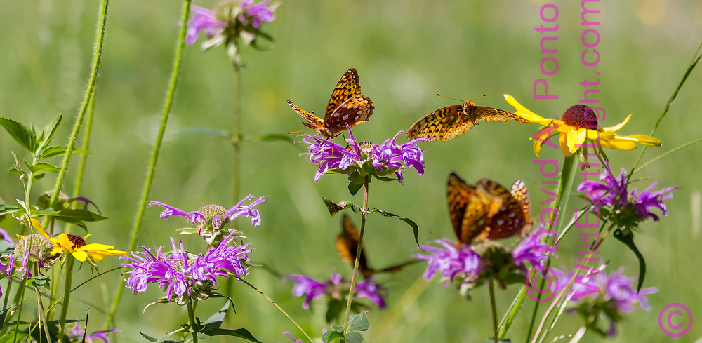 Fritillary butterfly flies over horsemint blossoms where another is feeding on nectar, with black-eyed Susan blossom, mountain wildflower meadow, Jemez Mountains, NM. © 2010 David A. Ponton