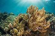 Soft Coral (Nephthea sp)<br /> Lesser Sunda Islands<br /> Indonesia