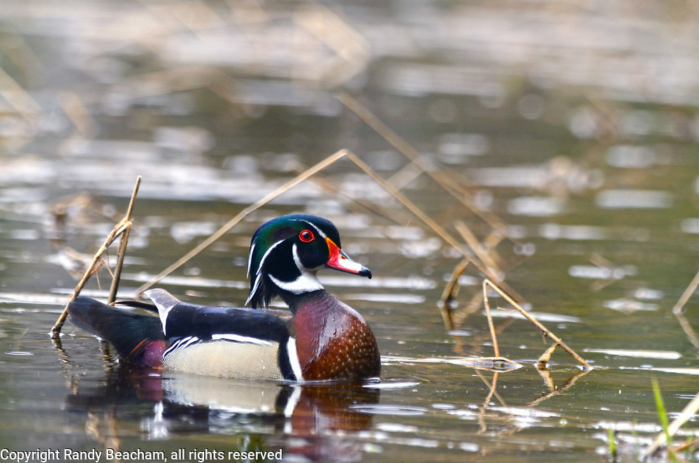 Male wood duck on a pond near the Yaak River in spring. Yaak Valley in the Purcell Mountains, northwest Montana.