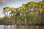 Cypress trees along the bank of Lake Maurepas, a brackish tidal estuarine sytem is south Louisiana