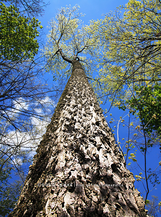 Looking Straight Up A Tall Tree Towards The Forest Canopy And A Deep Blue Spring Time Sky, Sharon Woods, Southwestern Ohio, USA
