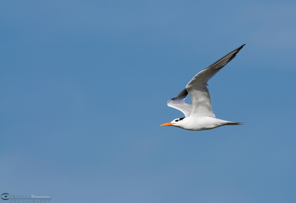 Guana River State Park, Florida -- Royal Tern, Thalasseus maximus, in flight. Found only along ocean beaches the royal tern feeds by plunge-diving for fish and breeds along coast from Maryland to Texas, wandering further south in summer.