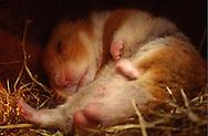 Deutschland, DEU, Cuxhaven: Schlafender männlicher Goldhamster (Mesocricetus auratus) liegt in seinem Nest aus Heu. | Germany, DEU, Cuxhaven: Golden Hamster (Mesocricetus auratus) male, sleeping in its subterranean sleeping nest made out of hay. |