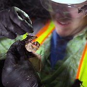 STERLING, VA - JUN13: Bethany Gregory, a field technician with GAI Consultants, removes a red bat, from a mist net July 13, 2015, during a bat census to make sure the planned Silver Line train yard near Dulles Airport doesn't impact the bats living in the woods near the site. Fine 'mist nets' are hung from polls to capture bats and determine whether there is a threatened bat species in the area. The bats are then released. Photo by Evelyn Hockstein/For The Washington Post)