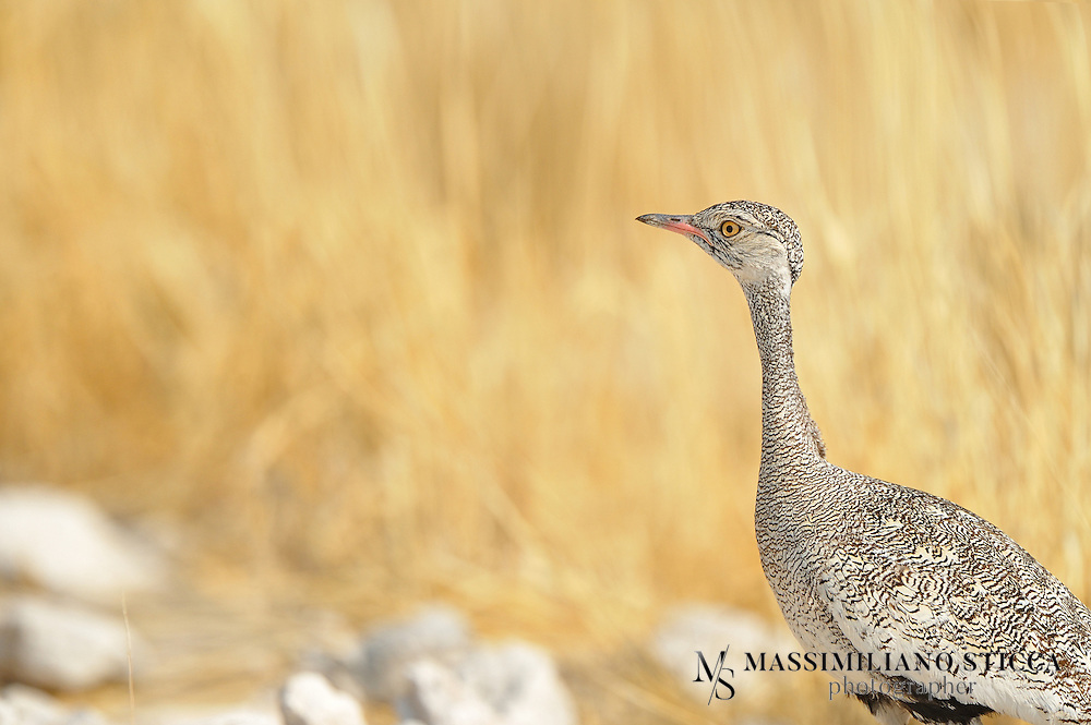 The Northern Black Korhaan or White-quilled Bustard (Afrotis afraoides) is a species of bird in the bustard family Otididae. It is found in Angola, Botswana, Lesotho, Namibia, and South Africa. Its habitat is primarily open grassland and scrub.