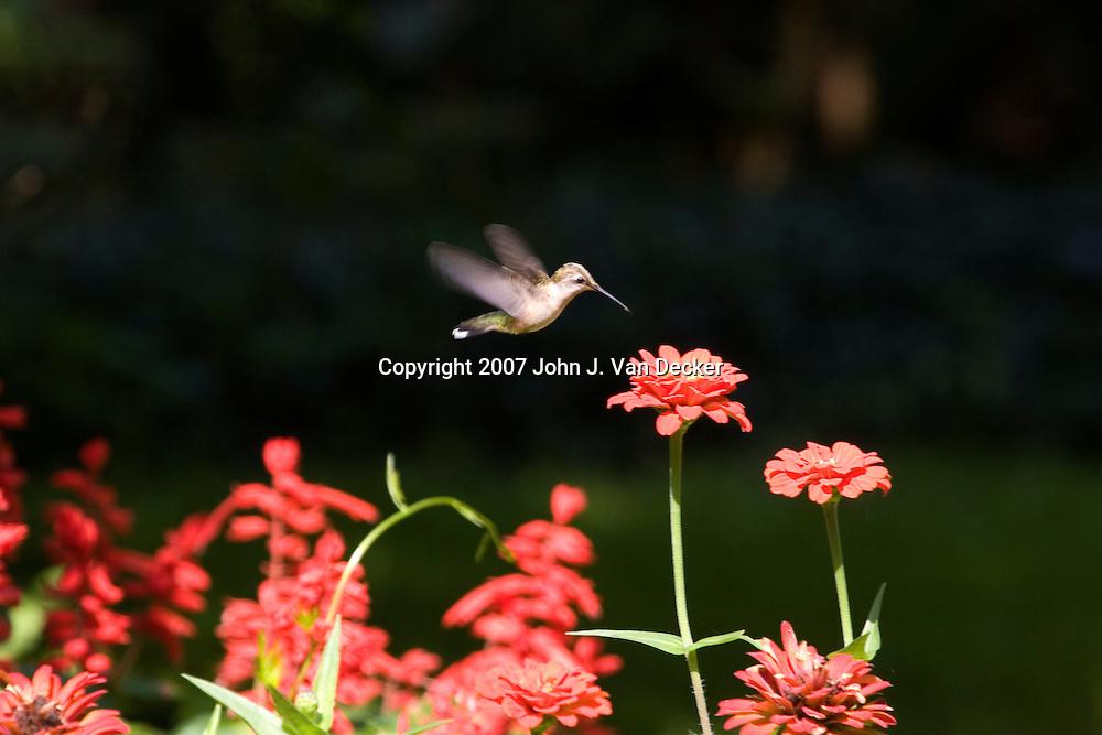 Ruby-throated Hummingbird, Archilochus colubris, female, approaching flower