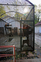 ROMANIA ONESTI 26OCT12 - A Eurasian brown bear stands tall leaning on the rusty bars of its cage at the Onesti zoo...The zoo has been shut down due to non-adherence with EU regulations on the welfare of animals.....The bear was rescued from the decrepit Onesti Zoo where it lived for 8 years in degrading conditions.......jre/Photo by Jiri Rezac / WSPA......© Jiri Rezac 2012