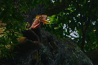 Helmeted Hornbill (Rhinoplax vigil) male perched above the nest cavity, getting ready to regurgitate fruits to pass to the female and chick inside.  The female is inside the dark opening visible on the left side of frame in the broken off branch.  Helmeted Hornbill nest HH 22.<br /> Budo-Sungai Padi National Park<br /> Narathiwat Province<br /> Thailand