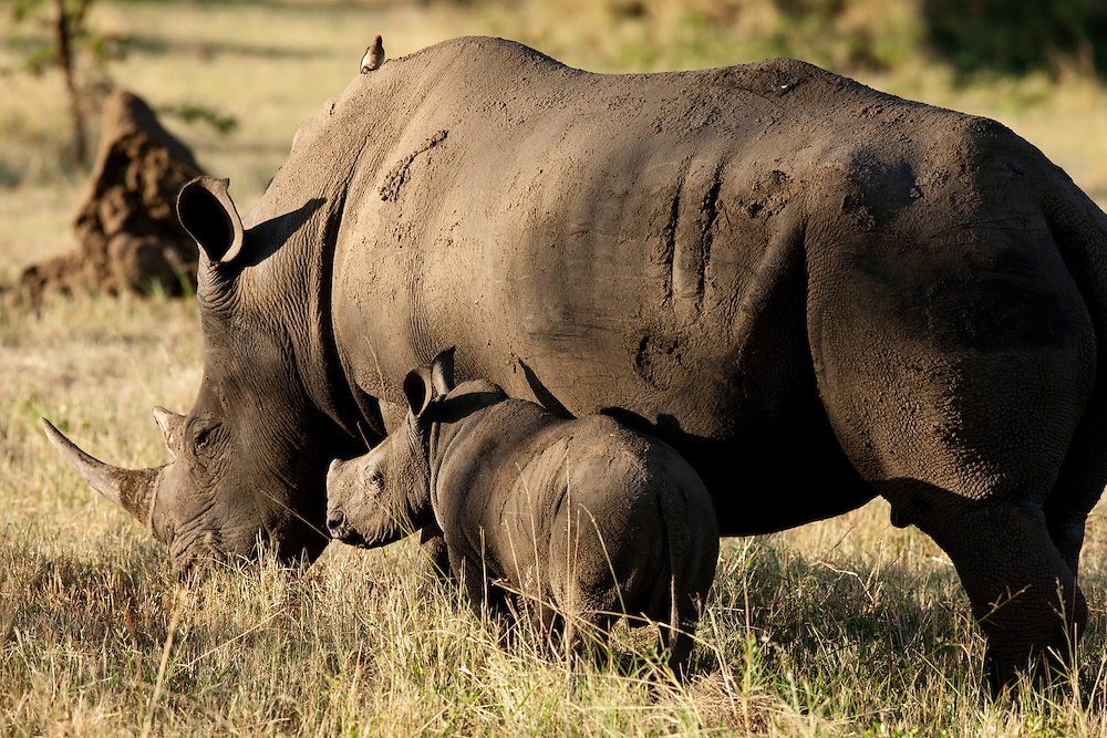 South Africa, Mpumalanga Province, Sabi Sands Game Reserve, White Rhinoceros (Cerototherium simum) and young calf feeding in grasslands at sunset