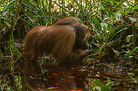 Niko, a adult flanged male, eating dirt in a pool of water in a peat swamp forest<br /> <br /> Bornean Orangutan <br /> Wurmbii Sub-species<br /> (Pongo pygmaeus wurmbii)<br /> <br /> Tuanan Field Site<br /> Tuanan Orangutan Research Project<br /> Mawas Conservation Area<br /> Central Kalimantan Province<br /> Island of Borneo<br /> Indonesia