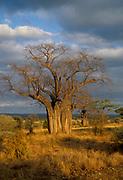 Baobabtree (Adansonia digitata) from Tarangire National Park, Tanzania