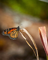 Monarch Butterfly. Image taken with a Nikon One V3 camera and 70-300 mm VR lens.