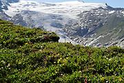 Plant diversity on glacier moraine with glacier (Schlatenkees, Großvenediger) in the background. High Tauern National Park (Nationalpark Hohe Tauern), Central Eastern Alps, Austria | Pflanzen Artenvielfalt auf der Ufermoräne, Moränenwall mit Blick auf das Schlatenkees ein Gletscher am Großvenediger in der Venedigergruppe. Nationalpark Hohe Tauern, Osttirol in Österreich
