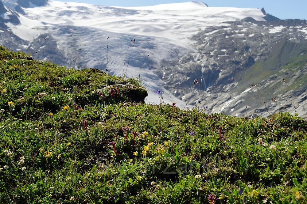 Plant diversity on glacier moraine with glacier (Schlatenkees, Großvenediger) in the background. High Tauern National Park (Nationalpark Hohe Tauern), Central Eastern Alps, Austria   Pflanzen Artenvielfalt auf der Ufermoräne, Moränenwall mit Blick auf das Schlatenkees ein Gletscher am Großvenediger in der Venedigergruppe. Nationalpark Hohe Tauern, Osttirol in Österreich