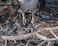 Osprey near small young in nest involuntarily closes its feet to protect young from accidental talon injury, © 2007 David A. Ponton