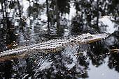 Wildlife: Alligator