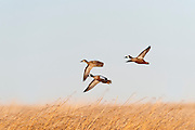 Blue-winged Teal, Anas discors, McPherson County, South Dakota
