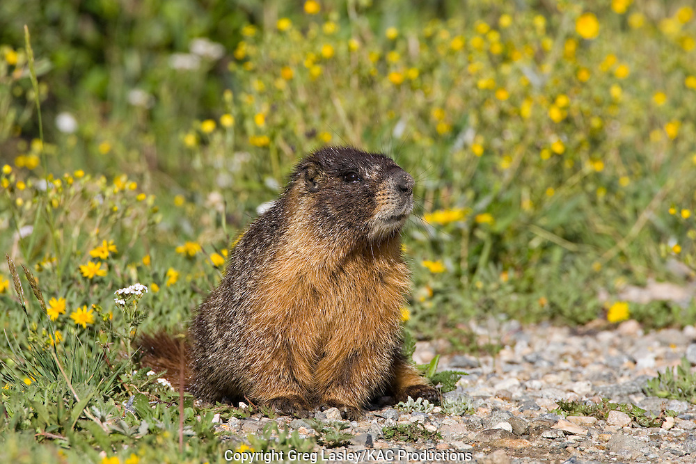 Yellow-bellied Marmot .Marmota flaviventris.Blue Lakes,.Summit Co., Colorado.24 July 2008