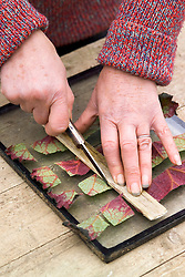 Taking leaf cuttings from a begonia using the leaf square method<br /> Slicing strips into squares