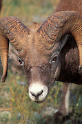 Close-up of a bighorm ram (Ovis canadensis), Jasper National Park, Alberta, Canada