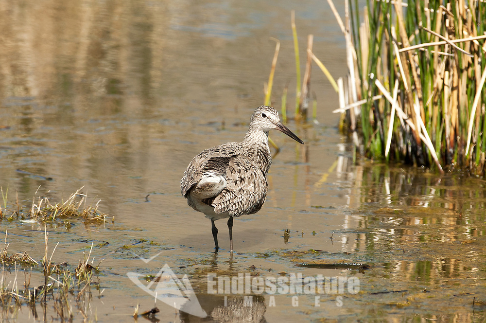 A Willet walks a shallow marsh edge for insects and seeds supporting its summer plumage.
