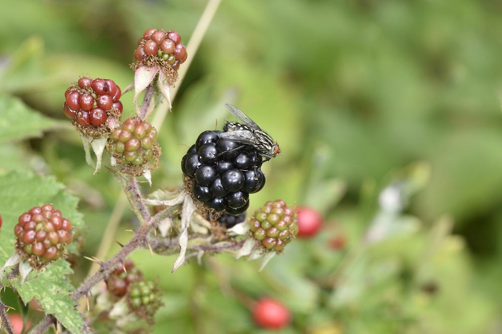 Bramble - Rubus fruticosus<br /> with Flesh-fly Sarcophaga carnaria