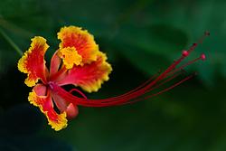 Pride of Barbados tree, caesalpinia pulcherrima #5