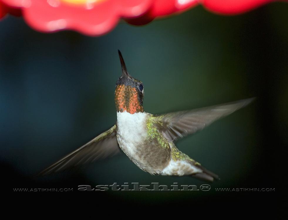 Hummingbird with a long slender bill and narrow wings.