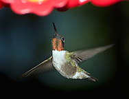 Hummingbird with a long slender bill and narrow wings.