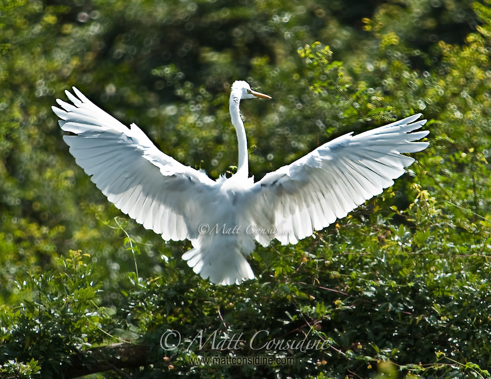 The light shining through the wings shows  the detailed wing structure of this beautiful white bird.<br /> (Photo by Matt Considine - Images of Asia Collection)