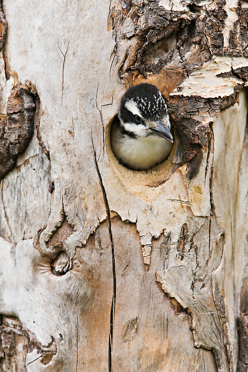 A juvenile Hairy Woodpecker peers out of the hole of its nest anxiously waiting for the return of its parents for feeding in Southcentral Alaska in the spring. Afternoon.